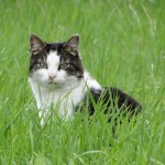 tabby and white cat sitting in grass