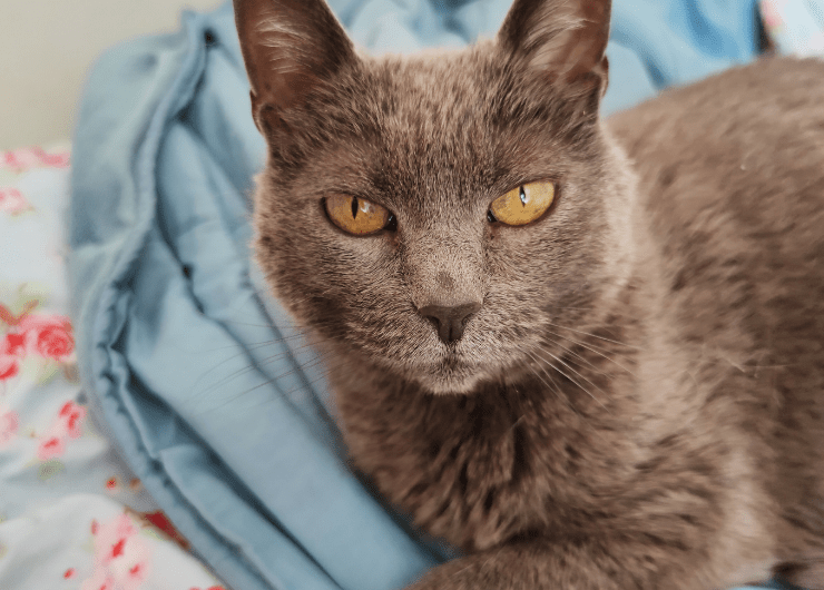 grey cat laying on bed