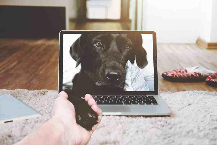 Labrador giving paw through a laptop