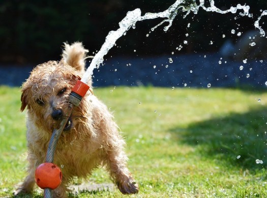 A dog is seen playing with a hose pipe and is all wet with water spraying from the hose.