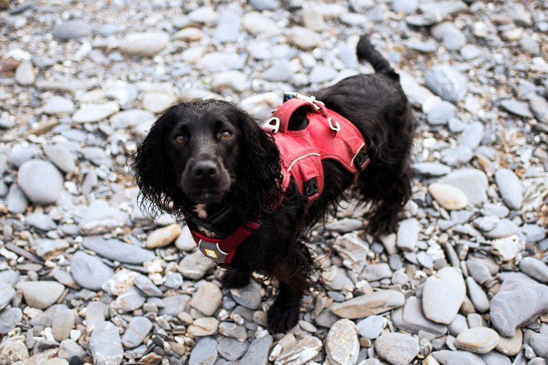 Rufus the Working Cocker Spaniel | Paws & Tors