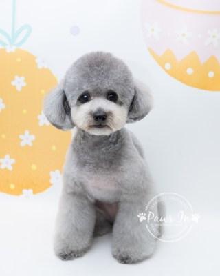 Poodle 剪毛, 剪裝, 日式寵物美容, 造型