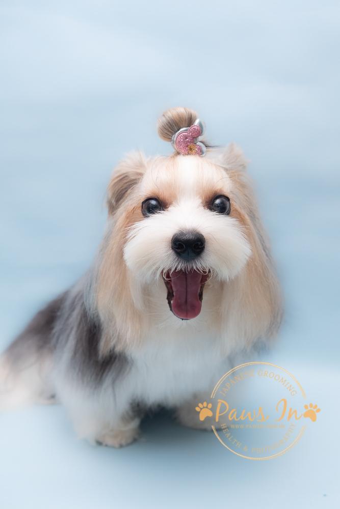 Biewer Terrier - Bella 日本極上碳酸玫瑰泡泡浴 Spa
