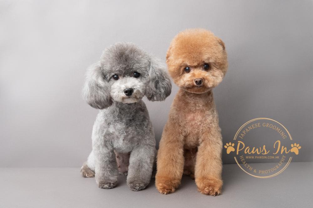 貴婦犬, poodle, poodle 造型, poodle 剪毛, 貴婦犬剪毛, 貴婦犬造型, 元朗剪毛, 日式造型, 日式寵物美容