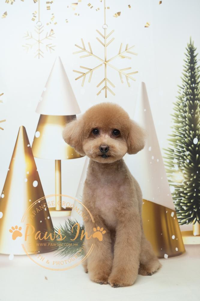 Poodle 貴婦犬 Esso - 日系 Teddy Bear 半手剪造型