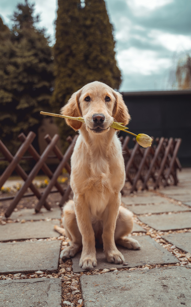 golden retriever sitting with a tulip in its mouth - Pawsitive Care Animal Hospital, Manassas, Virginia veterinarian