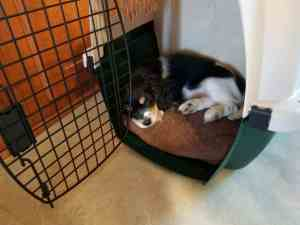 New Puppy Checklist: Sasha sleeping in kennel