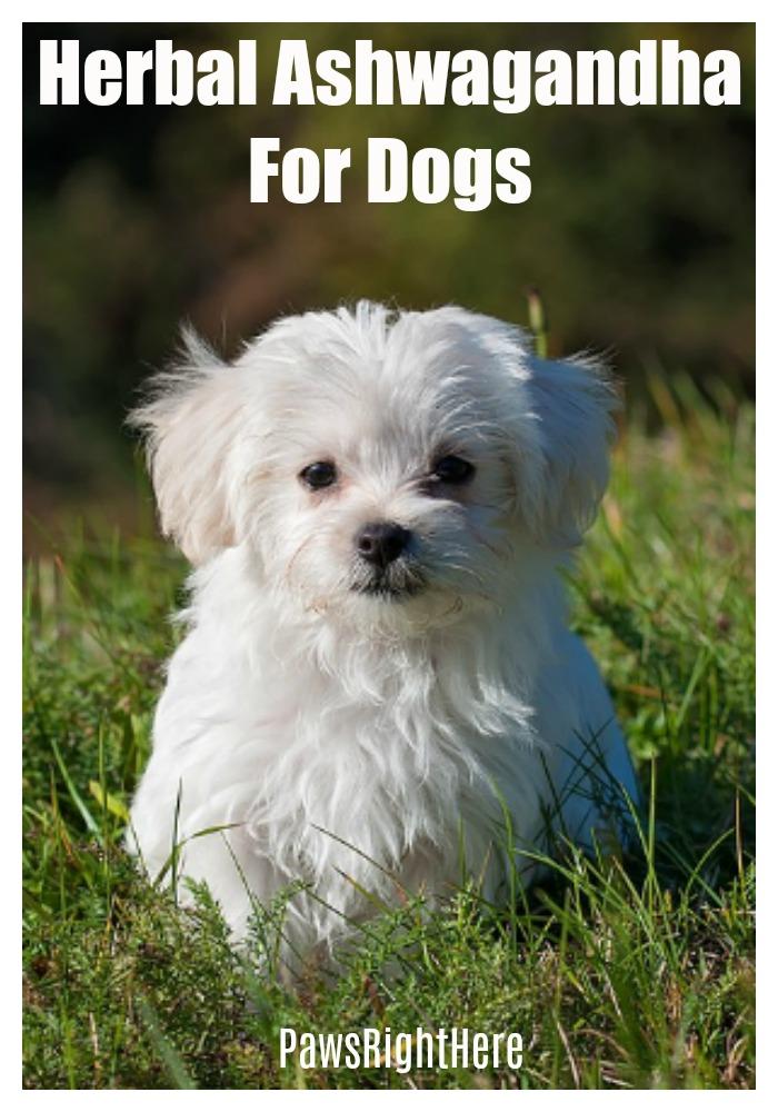 Giving ashwagandha to dogs