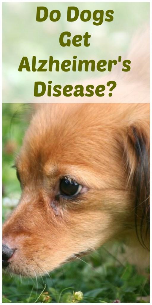 Do dogs get Alzheimer's disease