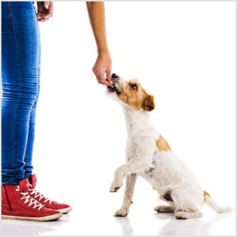 Girl training jack russell dog to sit.