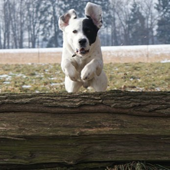 Dog jumping over a panel jump on an outdoor agility course.