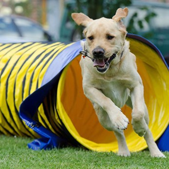 Dog running through the pipe tunnel on an agility course.