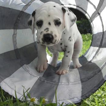 Puppy going through a play tunnel in the backyard.