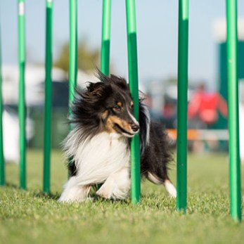Dog runs through weave poles on an agility course.