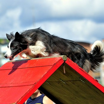 Border Collie goes over an A-Frame on an agility course.