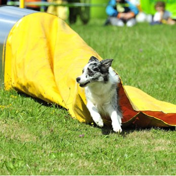 Dog runs through a collapsed tunnel on an agility course.