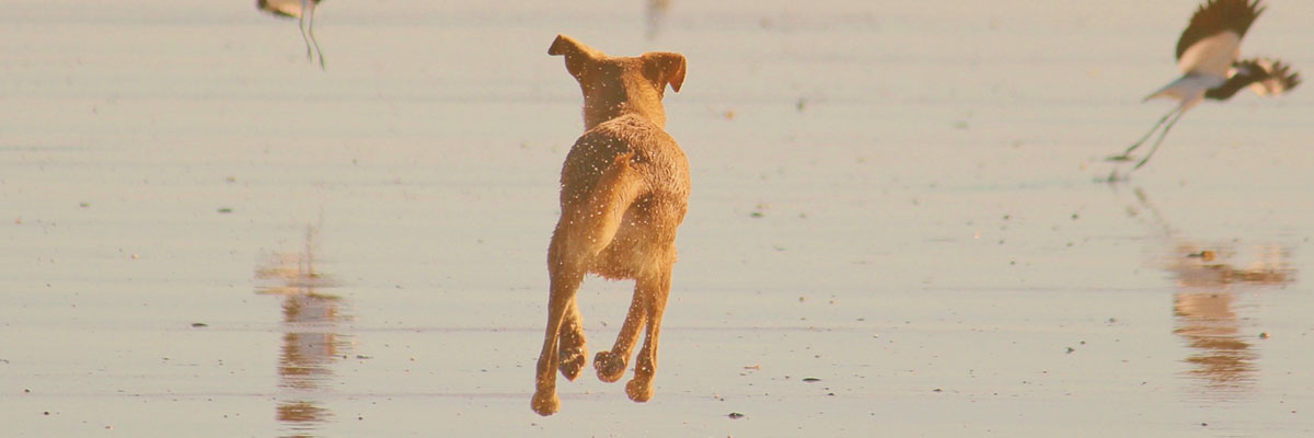 Dog Leaping For Joy On The Beach