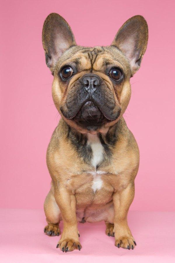 one year old fawn french bulldog