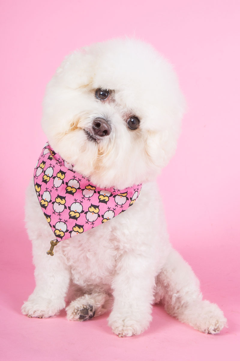bichon frise on pink
