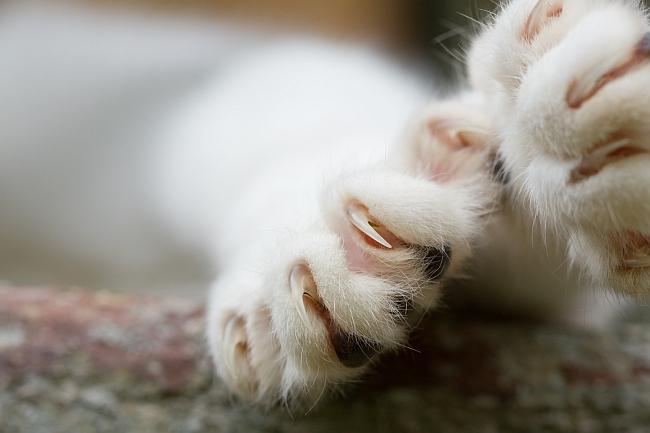 cat paws with its claws out
