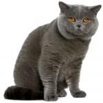 british-shorthair-cat