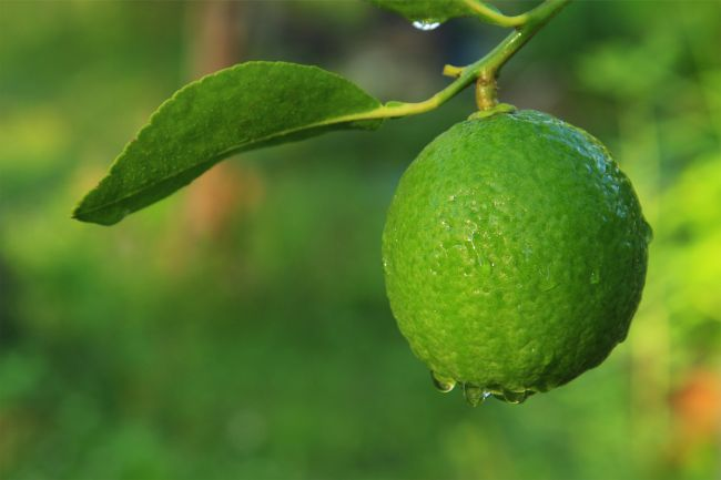 lime on a tree