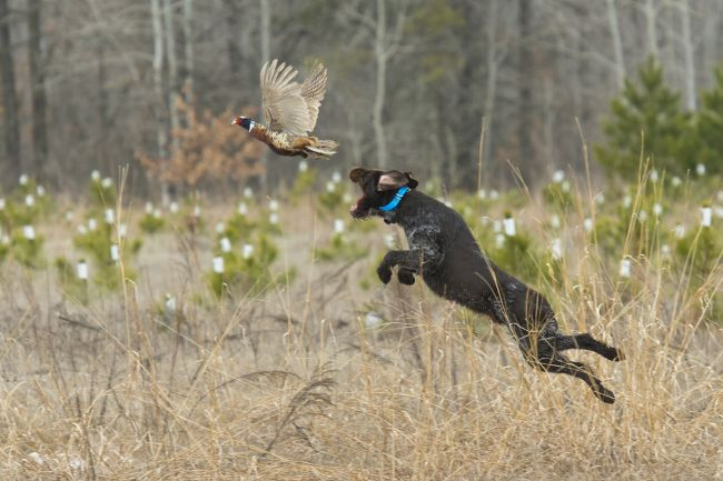 A hunting dog leaping to catch a pheasant