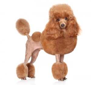 poodle with a continental cut