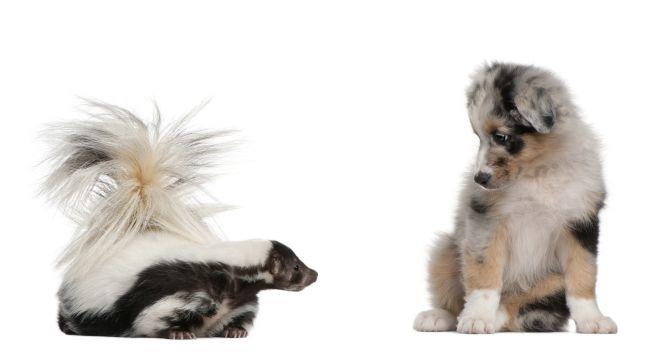 puppy looking at skunk