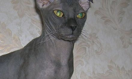 The Ugliest Cat Breeds in the World