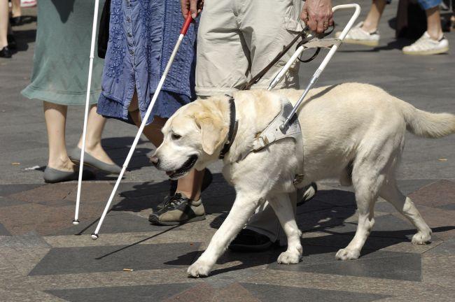 labrador guide dog