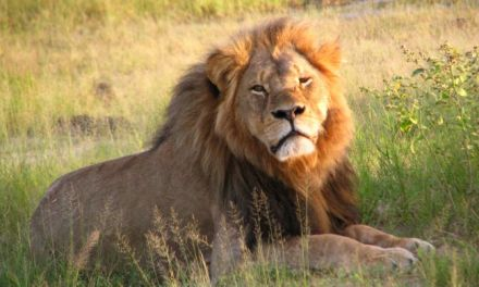 Cecil the Lion – A Short Biography
