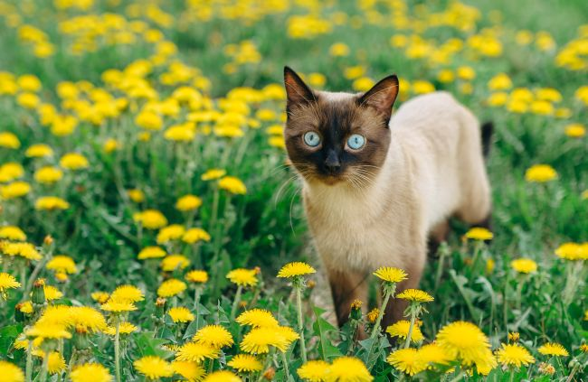 Siamese cats have very distinct and unmistakable coloring.