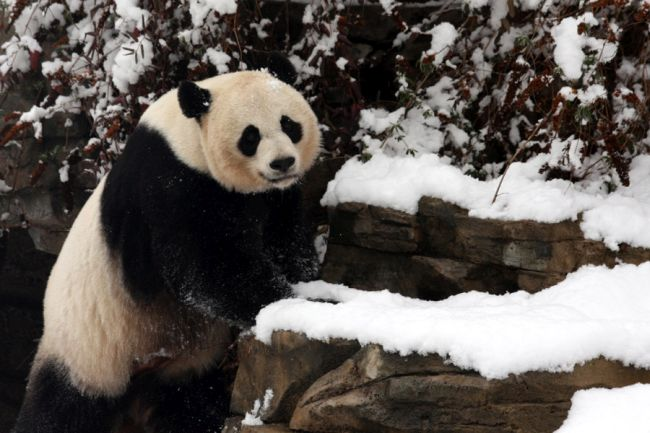 The National Zoo's Baby Pandas: Life & Death
