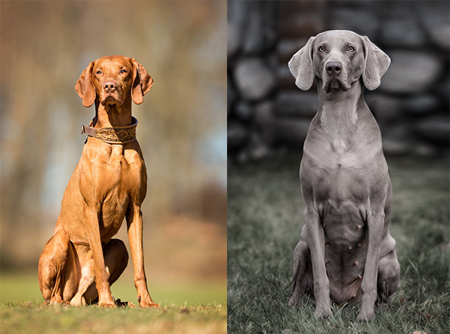 Twin Dogs – How Well Do You Know These Breeds?