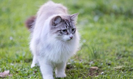 Facts About Birman Cats