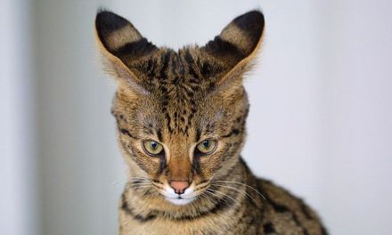Savannah Cat Facts