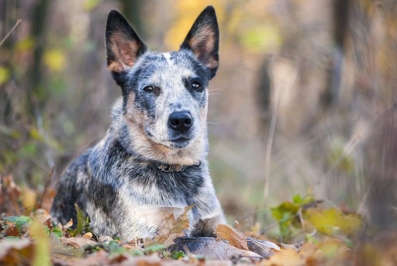 Blue Heeler (Australian Cattle Dog)