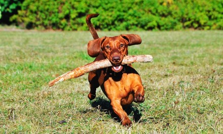 Are Sticks Dangerous For Dogs?