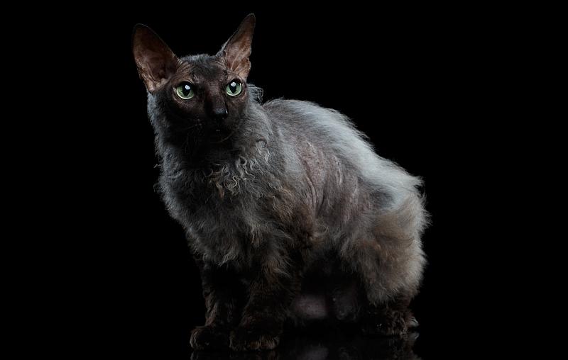 The Werewolf Cat