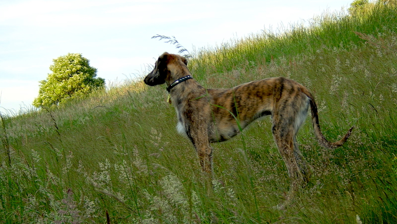 What Are Lurcher Dog Breeds?