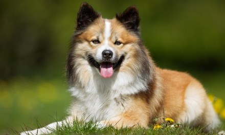 Scandinavian Dog Breeds