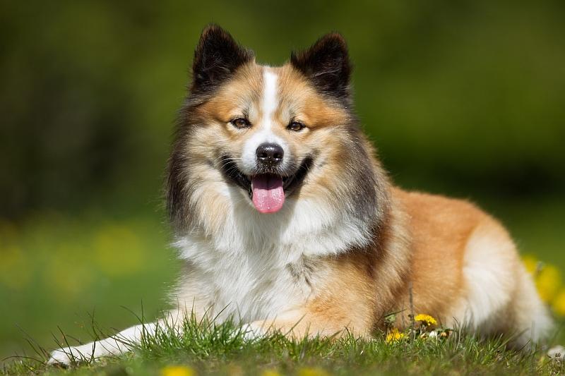Scandinavian Dog Breeds