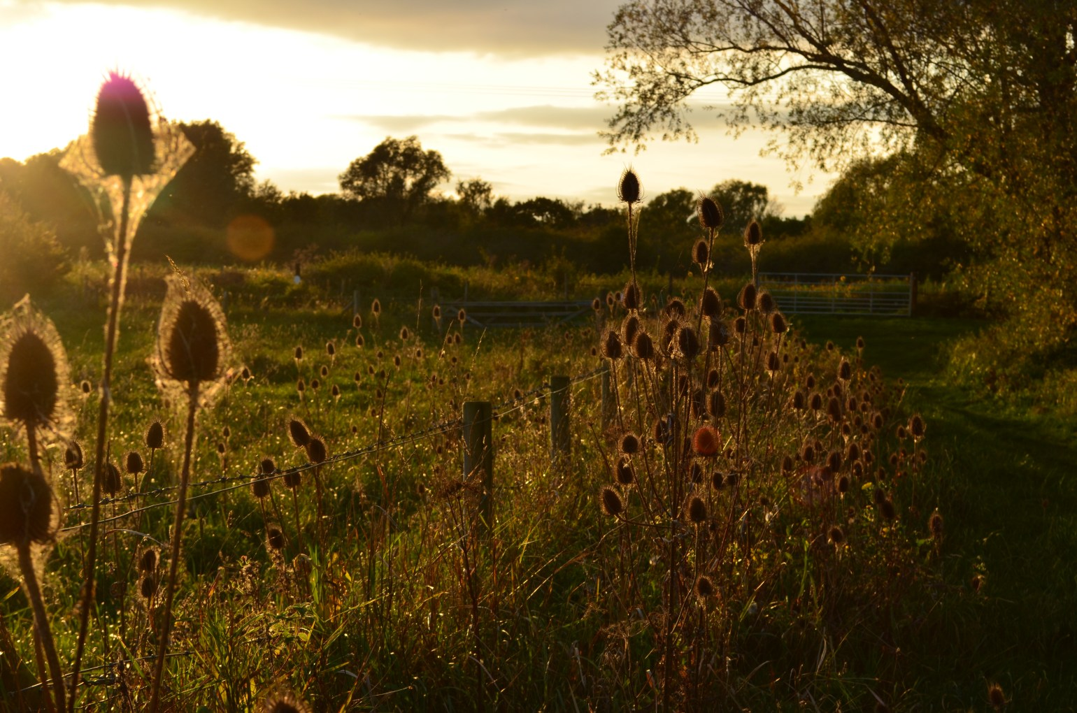 Sun catching the edges of the teasels along the Great Meadow at Paxton Pits in October