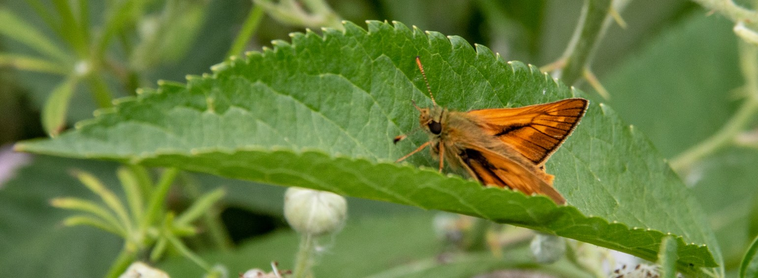 Small skipper butterfly by Peter Hagger