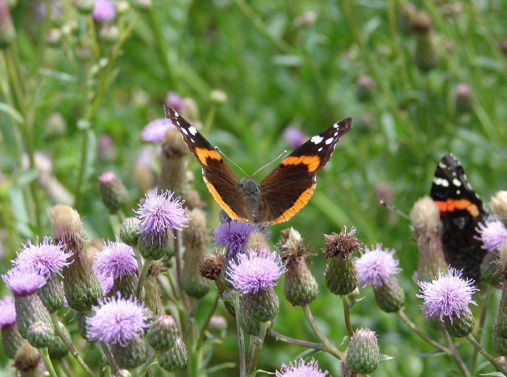 Butterflies on wildflowers.