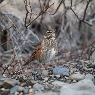 redwing bird on ground in autumn