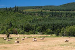 Acres of hay field with newly-cut and rolled hay ready for the bundler that will wrap them in plastic for storage.