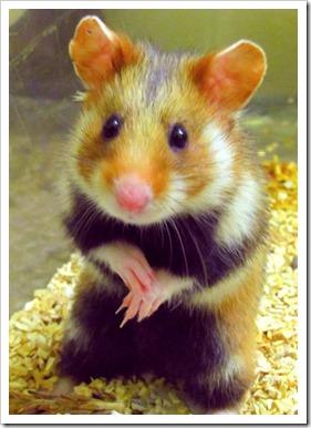 grand_hamster-514x720