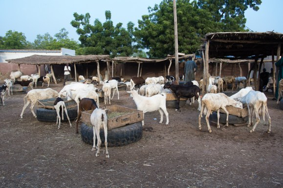 Marché aux bestiaux de Tambacounda